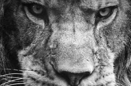 Puiul de leu singuratic