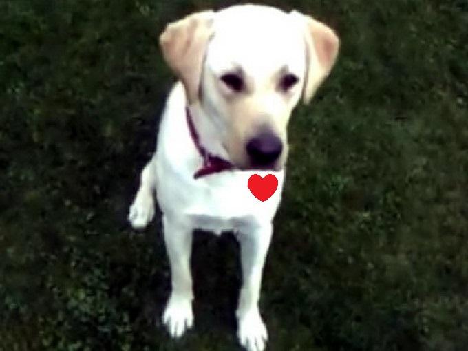 Inimă de câine