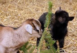 Domestic animals  -Mammals