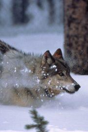 A venit un lup din crâng