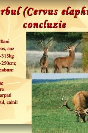 Animale sălbatice din pădurile ţării noastre (1) Cerbul