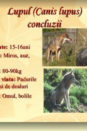 Animale sălbatice din pădurile ţării noastre (3) Lupul !