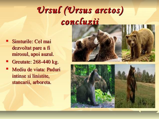 Animale sălbatice din pădurile ţării noastre (2) Ursul !