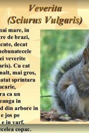 Animale sălbatice din pădurile ţării noastre (5) Veverița !