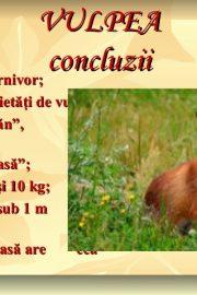 Animale sălbatice din pădurile ţării noastre (4) Vulpea !
