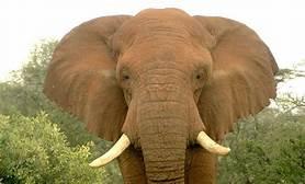Minunata lume a animalelor-elefantul african