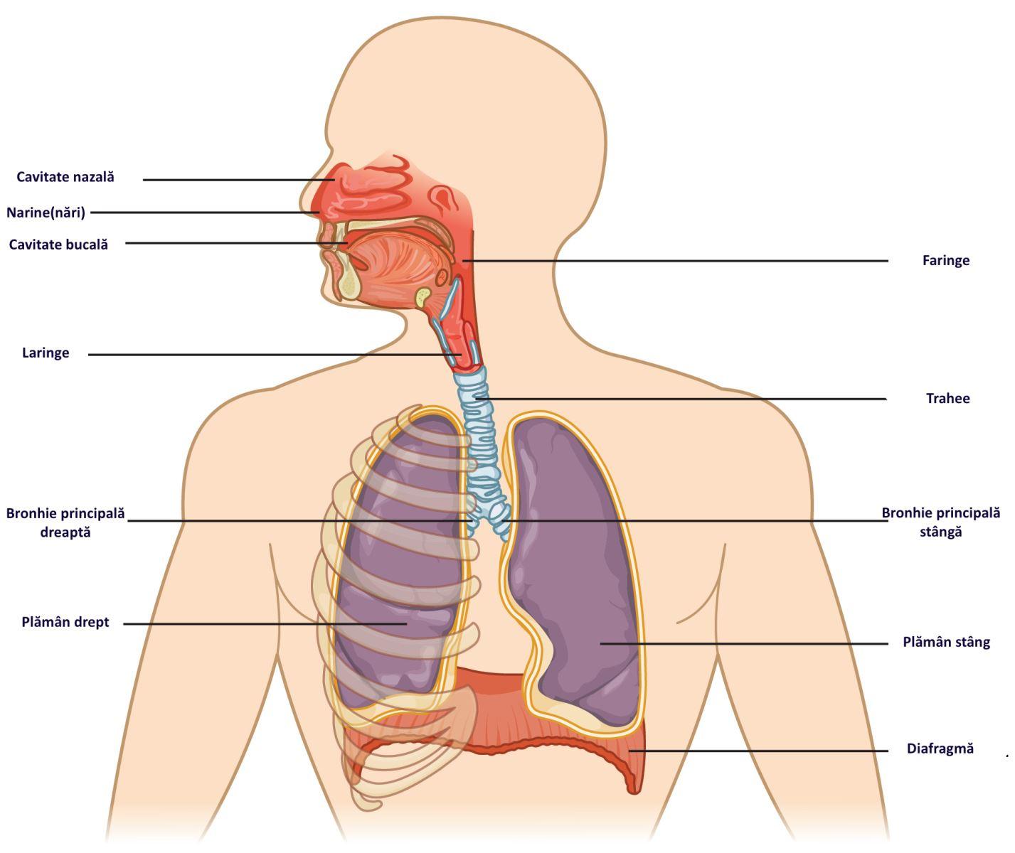 Sistemul respirator uman