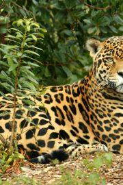 Minunata lume a animalelor – jaguarul