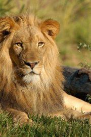 Minunata lume a animalelor-leul