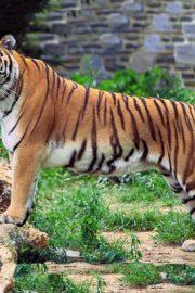 Minunata lume a animalelor-tigrul regal [bengalez]