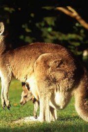 Minunata lume a animalelor-cangurul