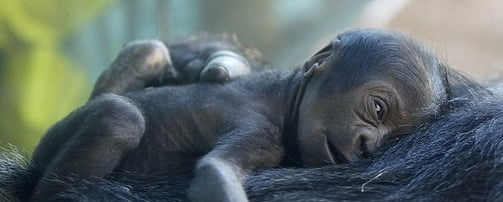 Gorila care voia sa se faca mare