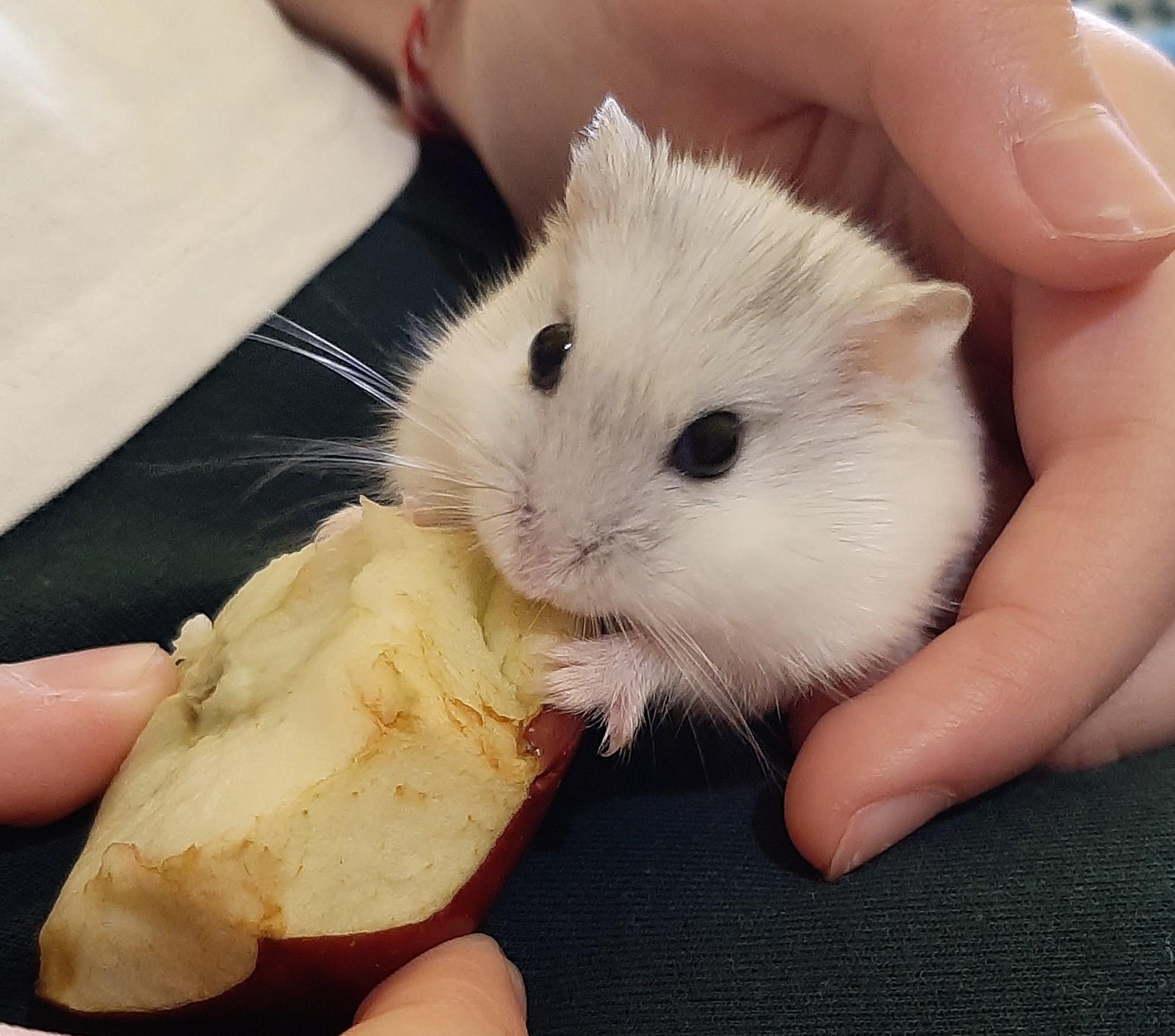 Despre hamsteri