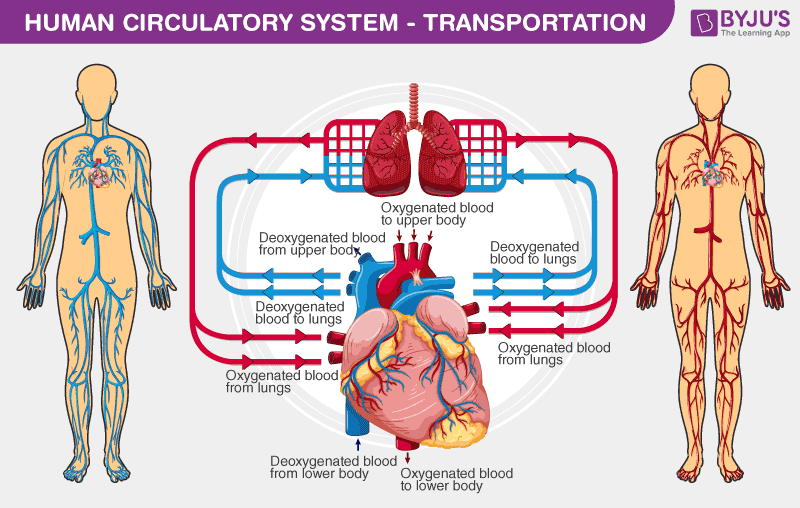 Sistemul circulator și circulația la mamifere/om