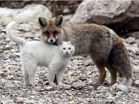 Vulpea si pisica – poveste populara