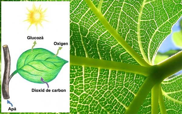 Respiratia la plante