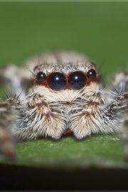Păianjenul Cățărici