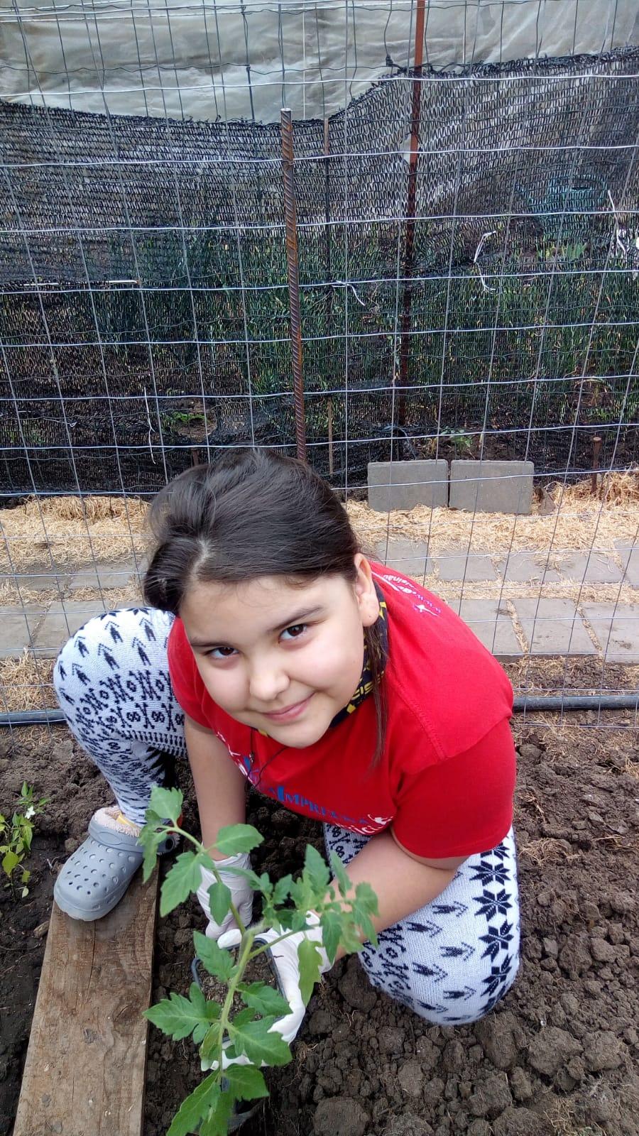 Plantare răsaduri roșii