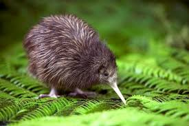 Pasărea kiwi