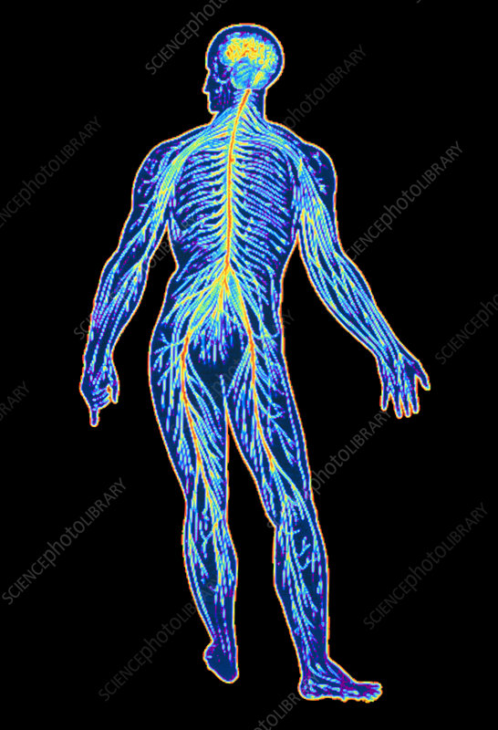 Sistemul nervos – [2]