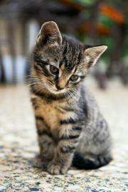 Cum comunica pisicile