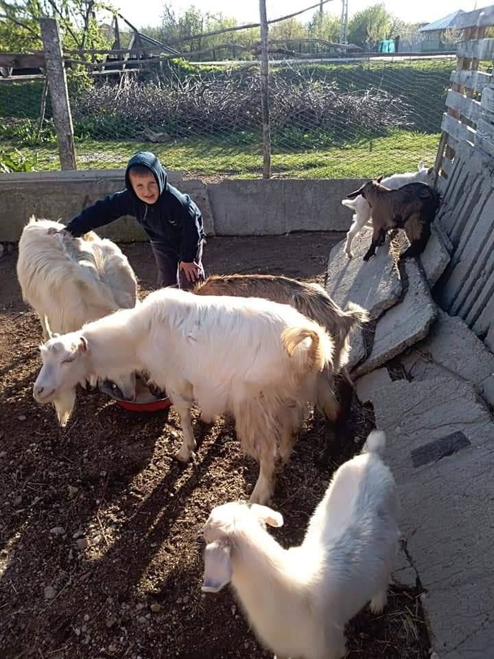 Dau grăunte la capre…