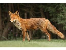 """""""Domnul Fox, vulpoi fantastic"""""""