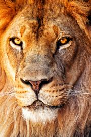 Din lumea minunata a animalelor – Leul