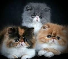 Pisici- rase